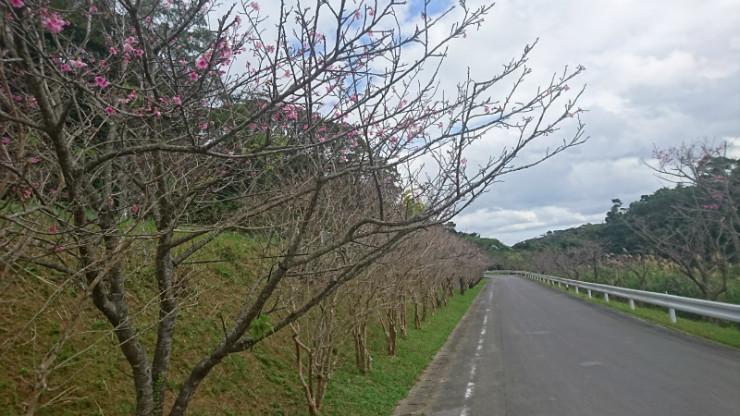 こちらは県道84号線付近の桜状況。