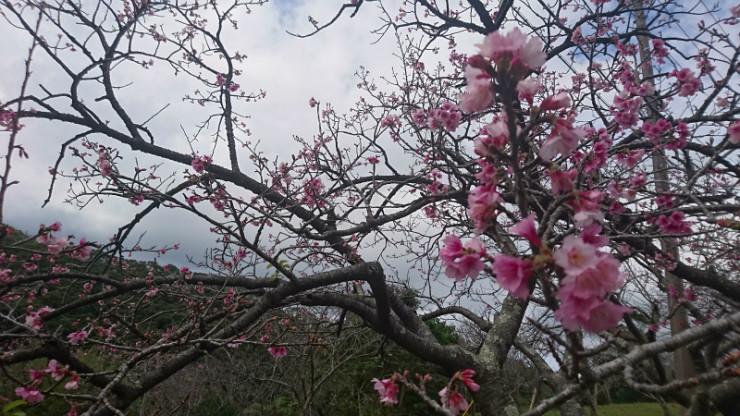 中にはこのように5分咲の桜も見られます。