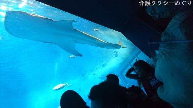 ジンベエザメなくして美ら海水族館にあらず。