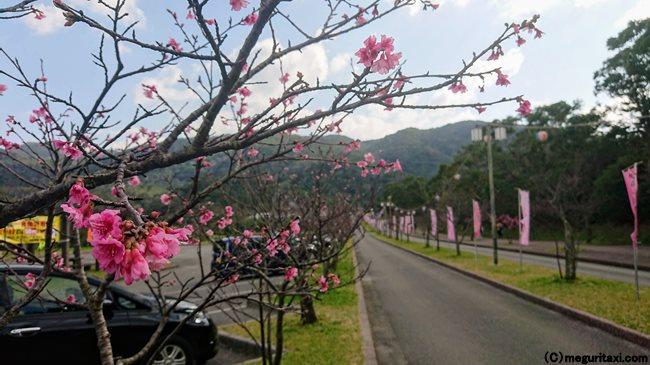 八重岳 桜 中腹