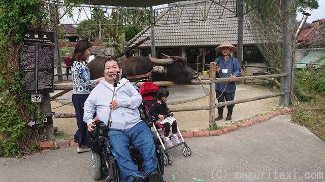 琉球村の水牛と車いすユーザー