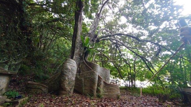 東村指定天然記念物サキシマスオウノキの外観